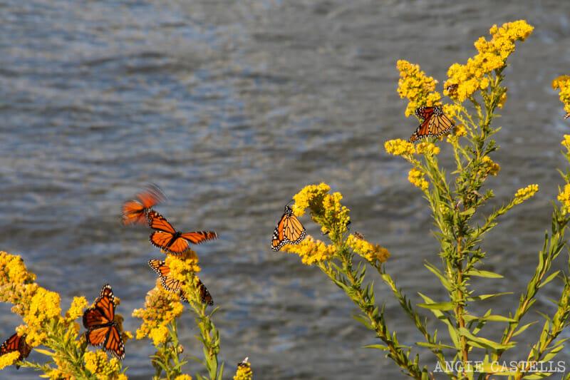 Qué hacer en otoño en Nueva York - Las mariposas monarca