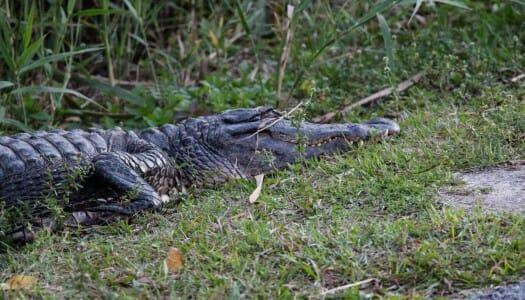Everglades, entre caimanes y pantanos en Florida