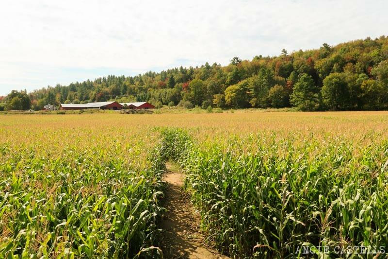 Percys Farm Corn maze, un laberinto de un campo de maíz en Vermont